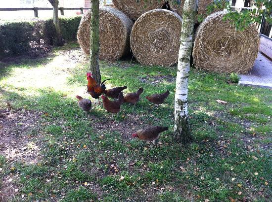Marsh Farm Bed & Breakfast: Chickens!