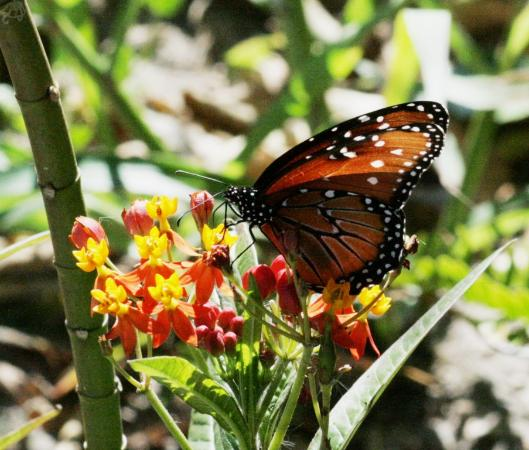 Leonabelle Turnbull Birding Center: A Monarch butterfly probes a flower for its nectar