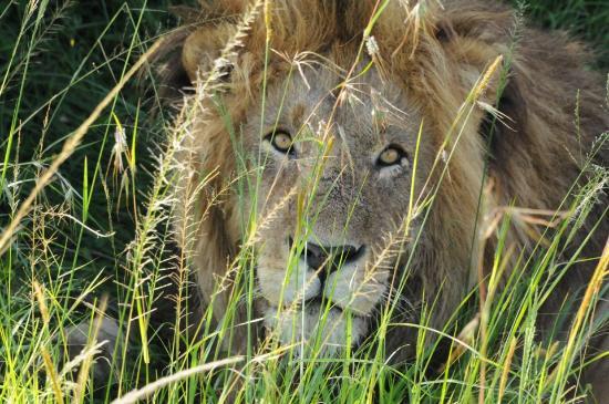 Basecamp Masai Mara: Veldig nære