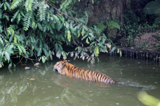 Lost World Of Tambun: Siberian tiger enclosure