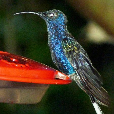 Monteverde Cloud Forest Lodge: Huumingbird from the restaurant
