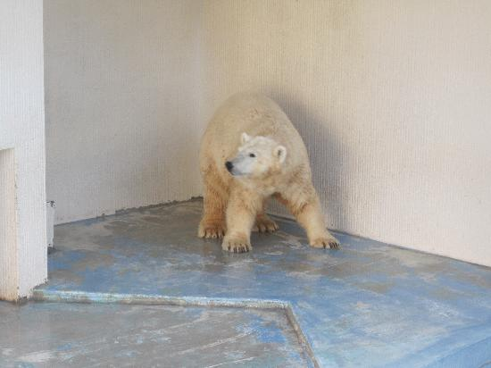 Tokuyama Zoo : The polar bear on his platform