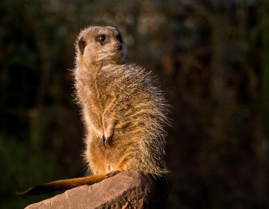 Bristol Zoo Gardens: Meercat