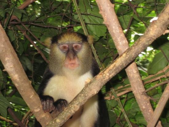 "Boabeng-Fiema Monkey Sanctuary : ""Daniel"" one of the male monkeys"