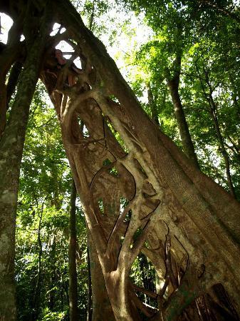Casa Tranquilo Hostel: The famous hiden strangler fig