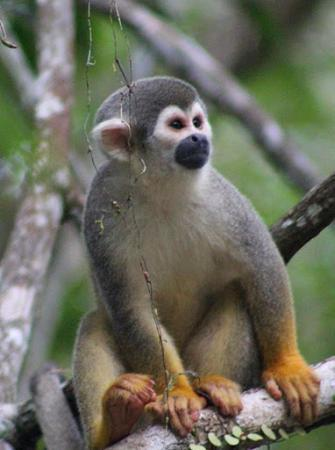Siona Lodge: squirrel monkey