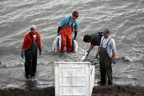 Kenai City Beach: Fresh Alaska sockeye salmon headed for market.