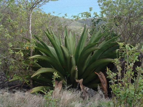 Nelson's Lookout: monstrous succulents close to 4 feet high, Saddle Hill, Nevis, West Indies