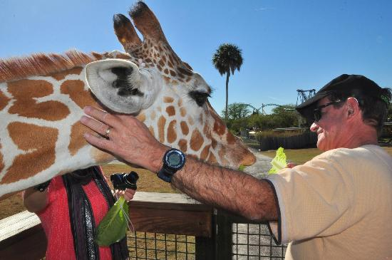 Feeding a giraffe on the Serengeti Safari Picture of Busch