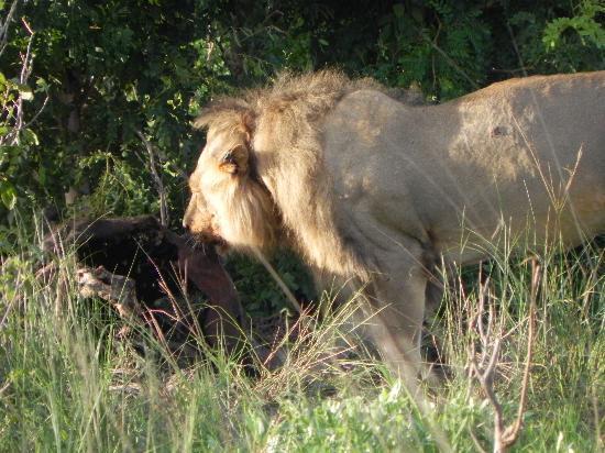 Wilderness Safaris Davison's Camp: Lion with his kill