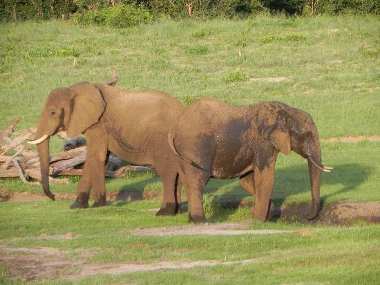 Wilderness Safaris Davison's Camp: Ellies playing in the mud