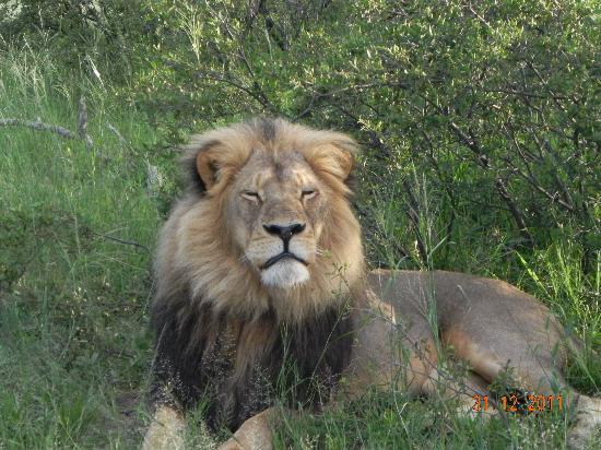 Wilderness Safaris Davison's Camp: Lion we tracked