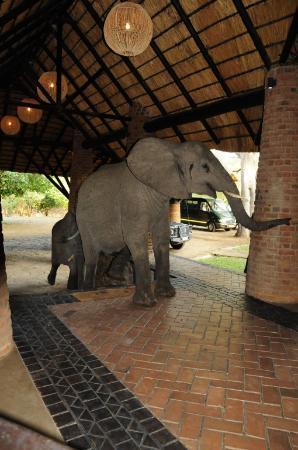 Mfuwe Lodge - The Bushcamp Company : The evidence! Elephants through reception