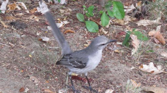 Hamilton Fort : Friendly Mockingbird at Fort Hamilton