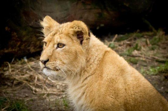 Frederiksberg, Dinamarca: Lion cub