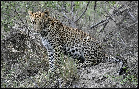 ชิดูลิ ไพรเวท เกมส์ ลอดจ์: Leopard cub