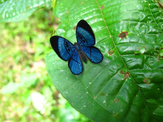 Coca, Ecuador: Colouful Butterflys are very common