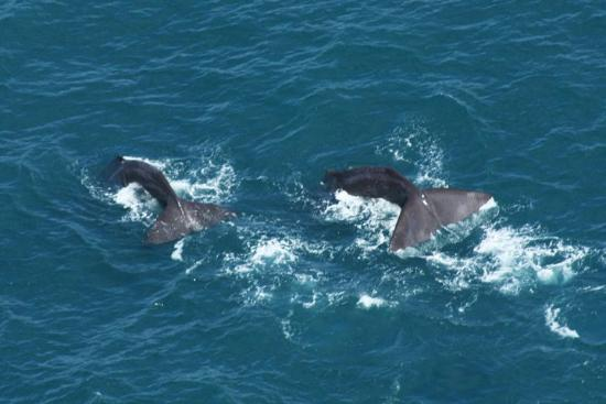 Wings Over Whales: 2 Sperm Whales Diving