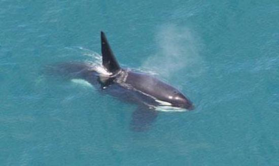 Wings Over Whales: Orca