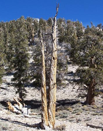 Ancient Bristlecone Pine Forest : Schulman Grove