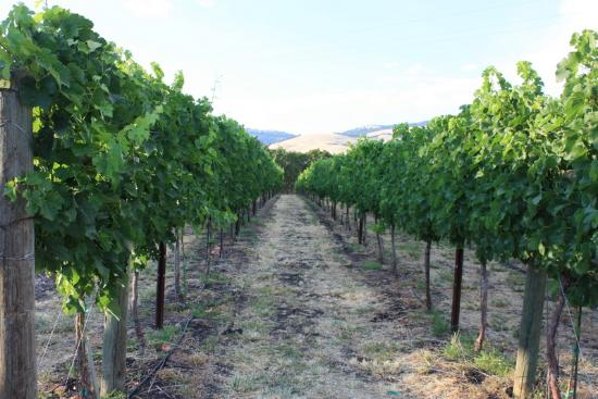 Grizzly Peak Winery: vineyard