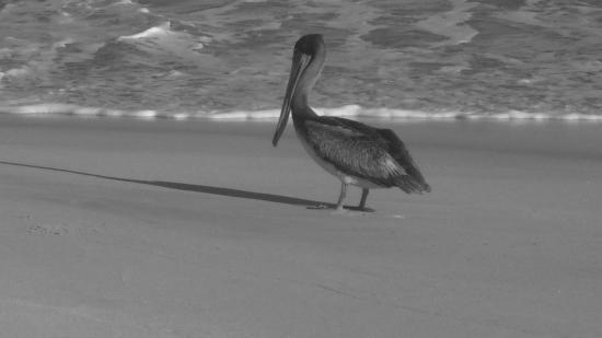 Villa del Faro: pelican