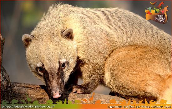 Parco Natura Viva: Coati