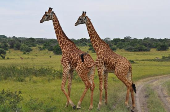 Primate Safaris: a couple of giraffes on the way to market