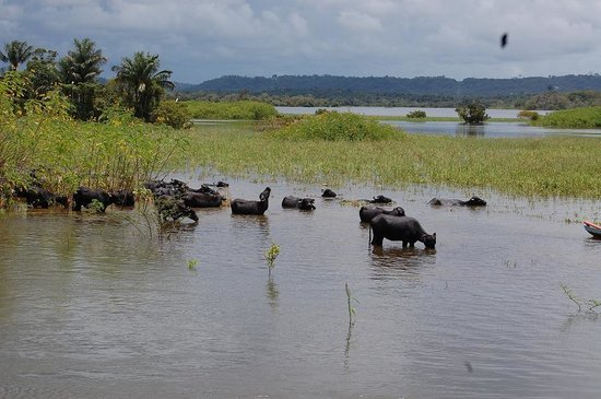 Santarem, PA: Water Buffalos: a major threat that turned into a sad attraction.