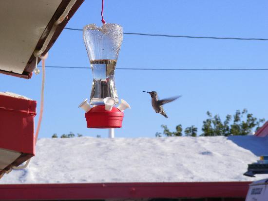 Trail Rider's Inn Motel: Hummingbird at the motel