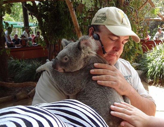 Beerwah, Australia: Auch wenn dieser Koala gestreichelt werden darf, achtet sein Betreuer sorgfältigst darauf