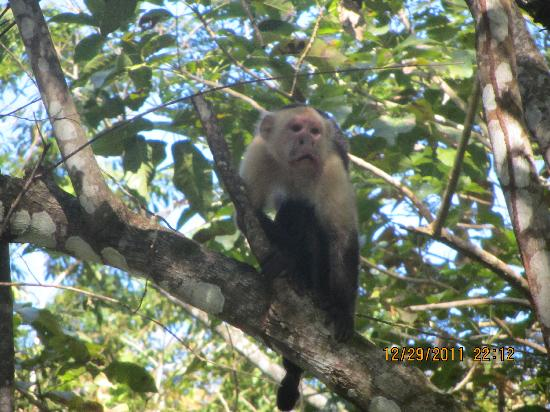 Curu National Wildlife Refuge : White Faced Capuchin