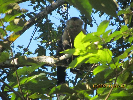 Curu National Wildlife Refuge: White Faced Capuchin