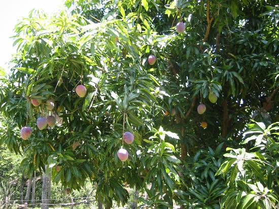 Aparthotel Lipa: Ripe mangoes at Peter's ranch, Lipa-í (January is mango season!)