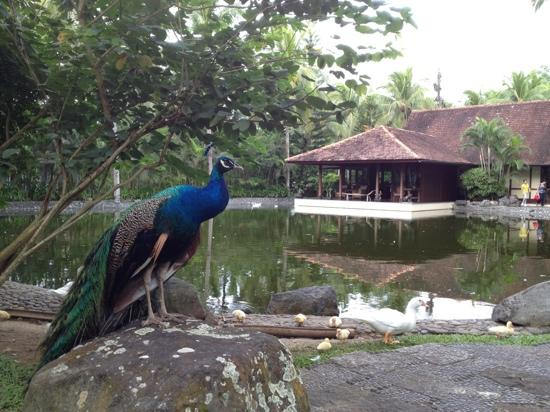 Lipa City, Filippinerna: peacocks at the Farm