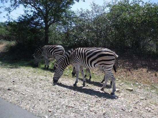 Royale Marlothi Safari Lodge: Zebras
