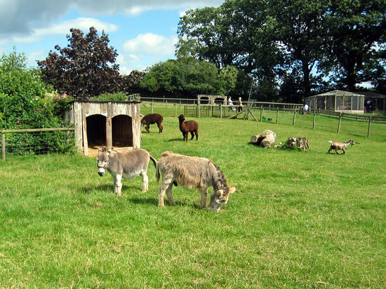 Kington, UK: Miniature donkeys and goats in the main display field