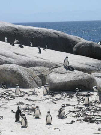 ‪Boulders Beach Penguin Colony‬