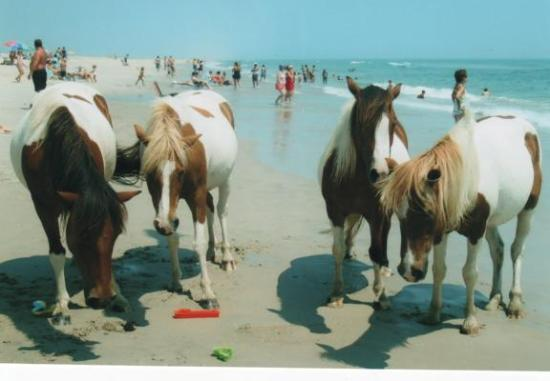 Maryland: a small herd of horses