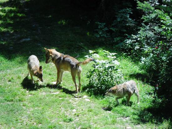 Parc Alpha : Rencontre avec les loups