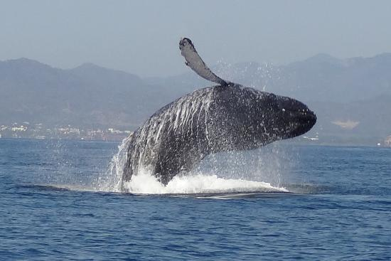 breaching picture of ocean friendly whale watching tours puerto