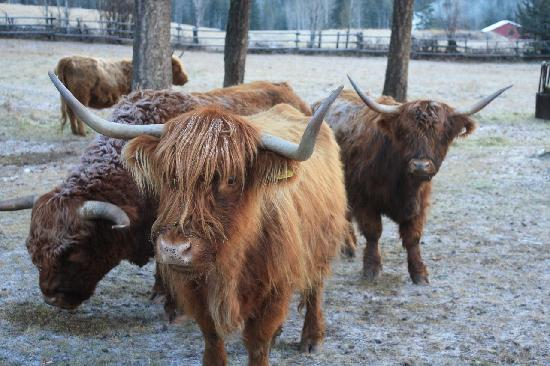 Home Lodge: Highland Cows in our Paddock