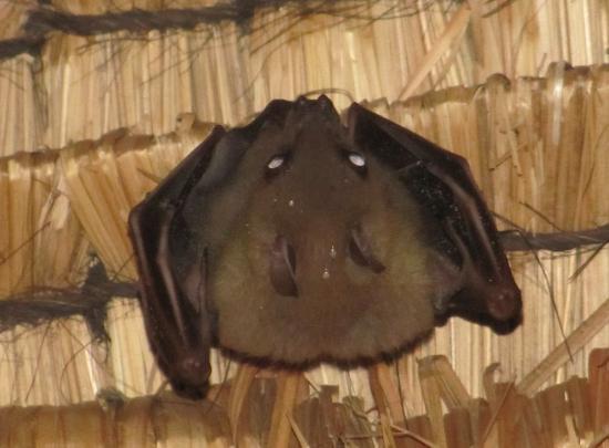 Matahari Terbit Bali Deluxe Bungalows: А это та самая летучая мышь, которая жила у нас под крышей