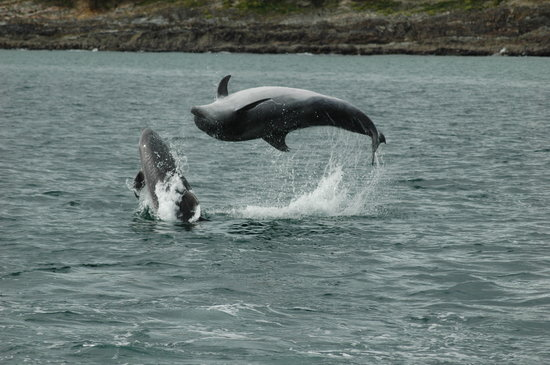 Baltimore, Irland: Whale Watch West Cork Bottlenose Dolphin Acrobatics