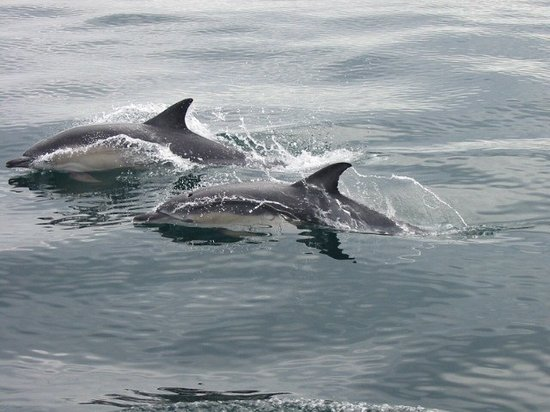 Baltimore, Irland: Whale Watch West Cork Common Dolphins