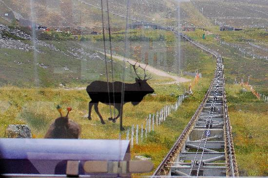 Cairngorms National Park: Going up the Cairngorm Funicular Railway - but is that a reindeer?