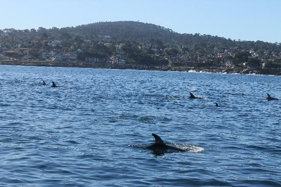 Monterey Bay Whale Watch: Risso dolphins