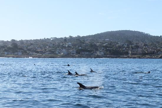 Monterey Bay Whale Watch: More Risso dolphins