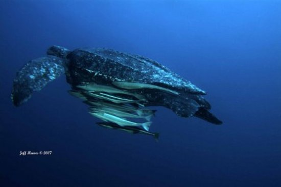Singer Island, Floride : Largest nesting grounds for Leatherback Sea Turtles in the US