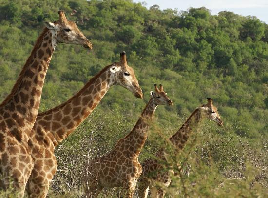 Rhulani Safari Lodge: Game@Rhulani